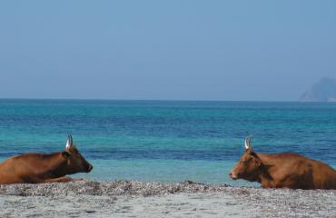 Bike trip Sardinia: cows on the beach at Piscinnì, Costa del Sud