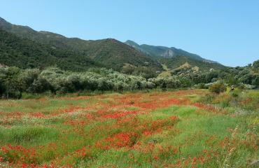 Cycling trip Sardinia: poppies in bloom between Alghero and Bosa