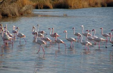 Hiking Sardinia: pink flamingos in the Sinis Peninsula lagoons